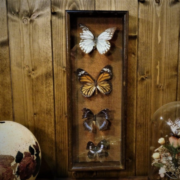 Cased Butterfly Wall Display